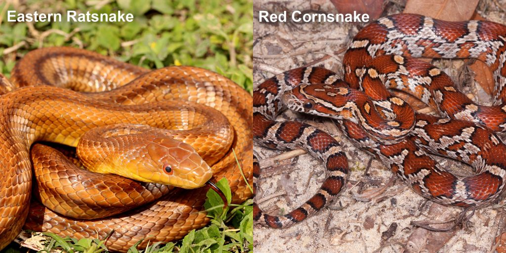 two images side by side - Image 1: Eastern Ratsnake - coiled reddish-brown snake with darker stripes. Image 2: Red Cornsnake - snake with red and orange markings.