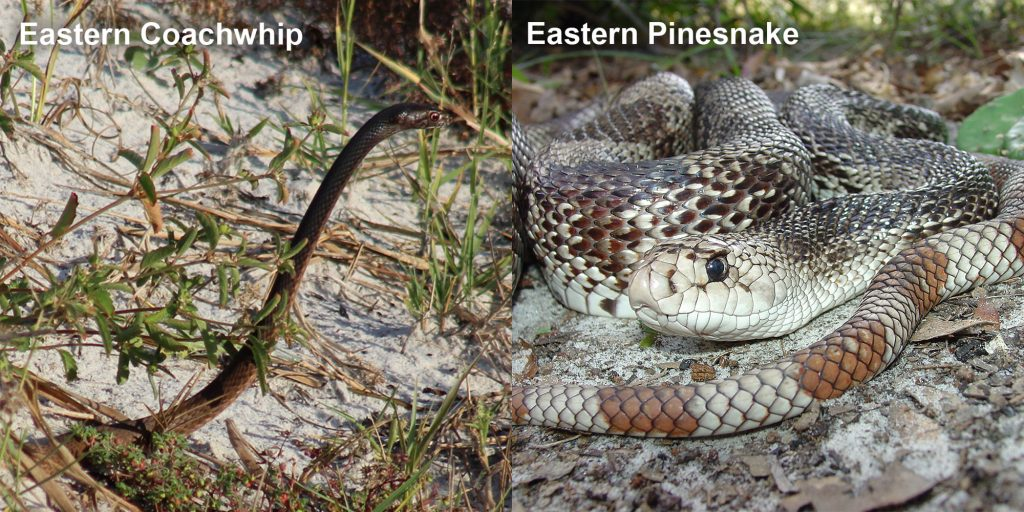 two images side by side - Image 1: Eastern coachwhip - snake with its head raised above the grass. Image 2: Eastern Pinesnake- snake with brown and white markings coiled on the ground