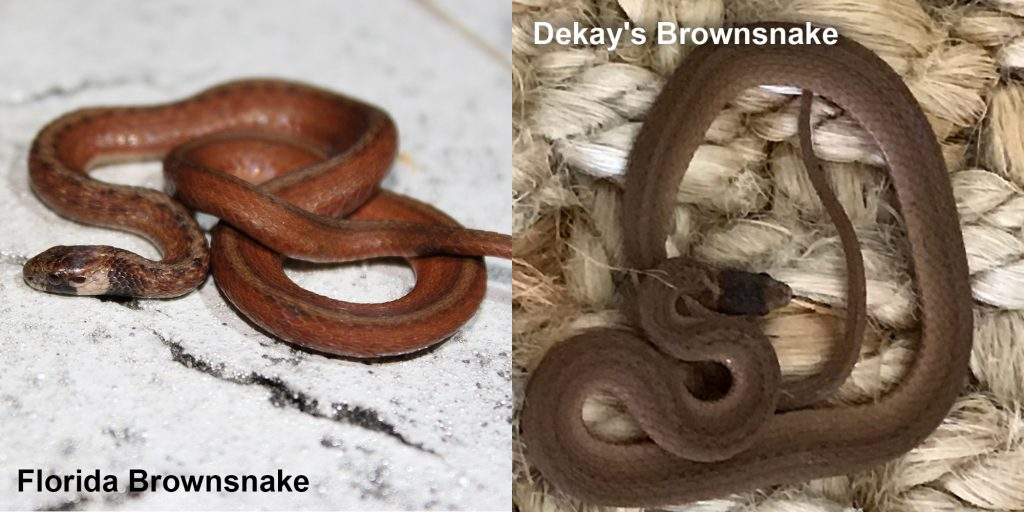 two images side by side - Image 1: Florida Brownsnake - small brown snake with tan under neck. Image 2: Dekay's Brownsnake - small brown snake on fiber.