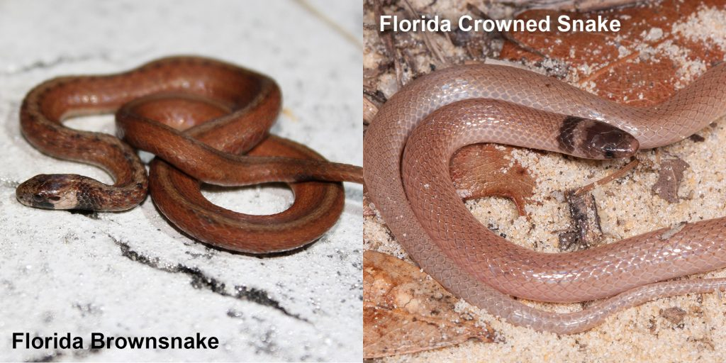 two images side by side - Image 1: Florida Brownsnake - small brown snake with tan under neck. Image 2: Florida Crowned Snake, small pink snake with brown head
