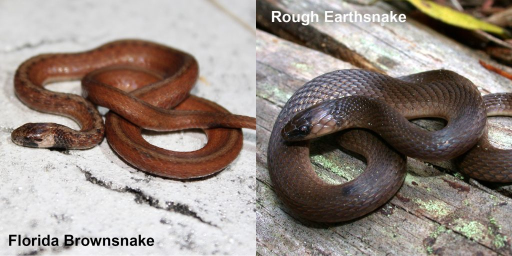two images side by side - Image 1: Florida Brownsnake. small brown snake with tan under neck Image 2: Rough Earthsnake. brown snake coiled on a log