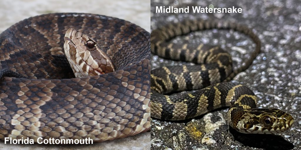 two images side by side - Image 1: Florida Cottonmouth coiled with head raised. Image 2: Striped Midland Watersnake - small patterned snake on pavement
