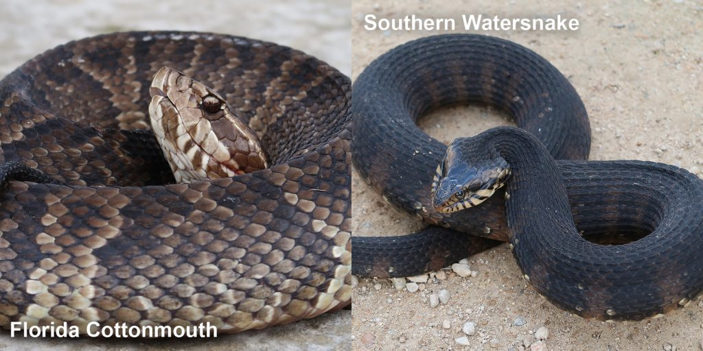 Side by side comparison of a Florida Cottonmouth and a Southern Watersnake.