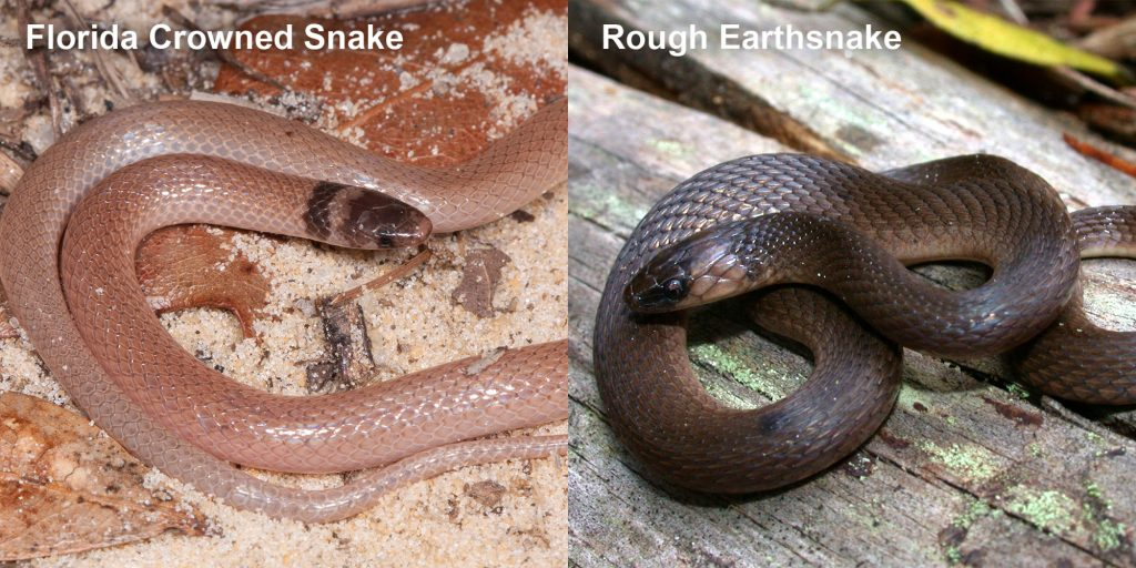 two images side by side - Image 1: Florida Crowned Snake, small pink snake with brown head Image 2: Rough Earthsnake. brown snake coiled on a log