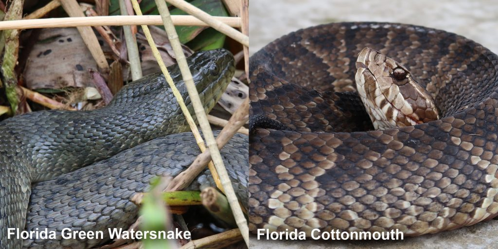 Side by side comparison of a Florida Green Watersnake and a Florida Cottonmouth.