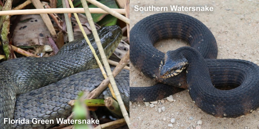 two images side by side - Image 1: dull green snake in marsh grass. Image 2: Southern Watersnake coiled snake with flattened head.