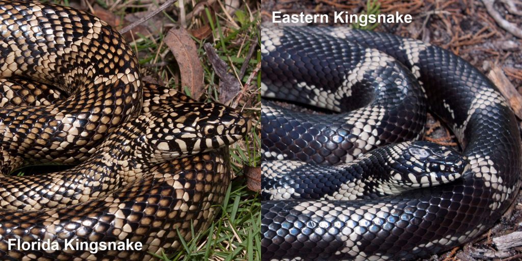two images side by side - Image 1: Florida Kingsnake - Coiled snake with black and tan scales. Image 2: Eastern Kingsnake- large black snake with tan rings