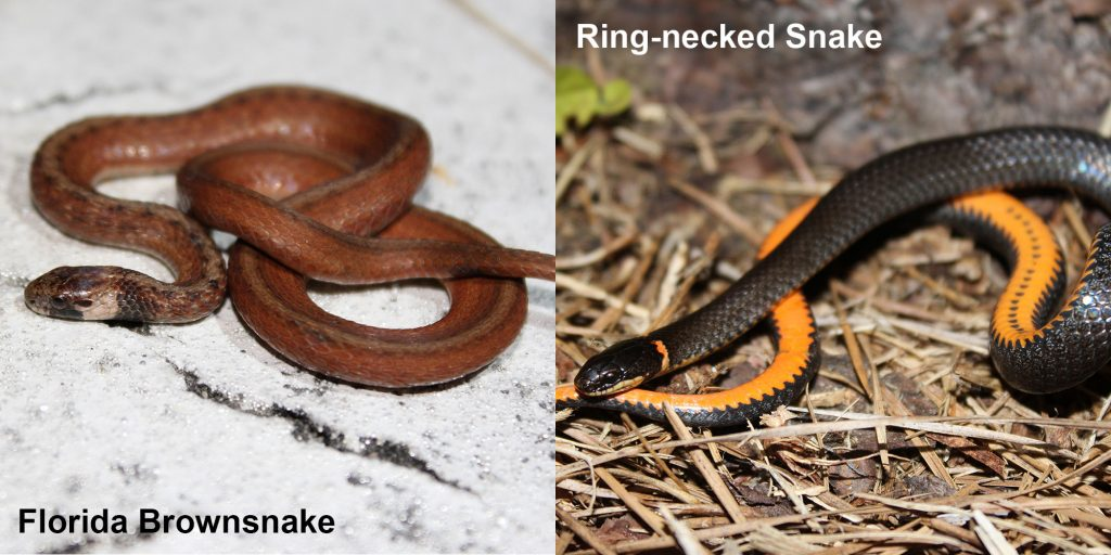 two images side by side - Image 1: Florida Brownsnake. small brown snake with tan under neck. Image 2: Ring-necked snake black snake coiled to show orange belly.