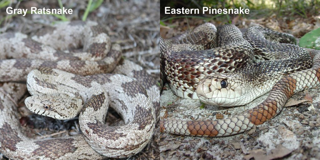 two images side by side - Image 1: Gray ratsnake - coiled gray and brown snake. Image 2: Eastern Pinesnake- snake with brown and white markings coiled on the ground