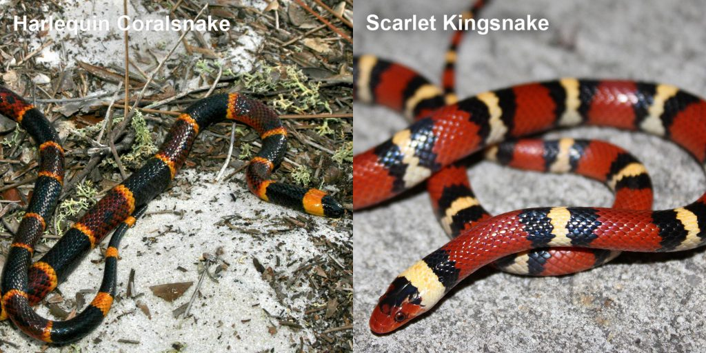 two images side by side - Image 1: Harlequin Coralsnake - thin black, yellow, and red snake. Image 2: Scarlet Kingsnake - snake with red black and yellow rings.