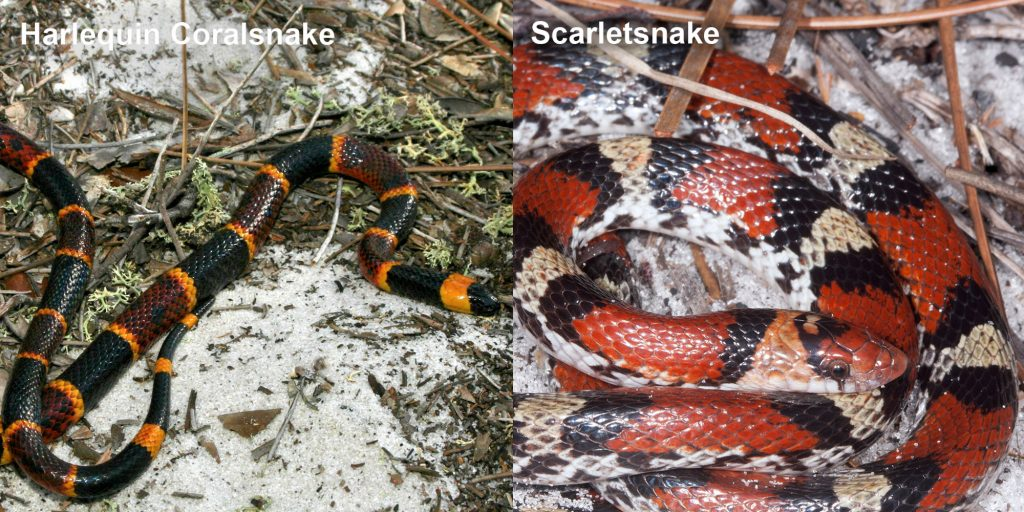 two images side by side - Image 1: Harlequin Coralsnake - thin black, yellow, and red snake. Image 2: Scarlet snake - coiled black, red, and yellow snake.