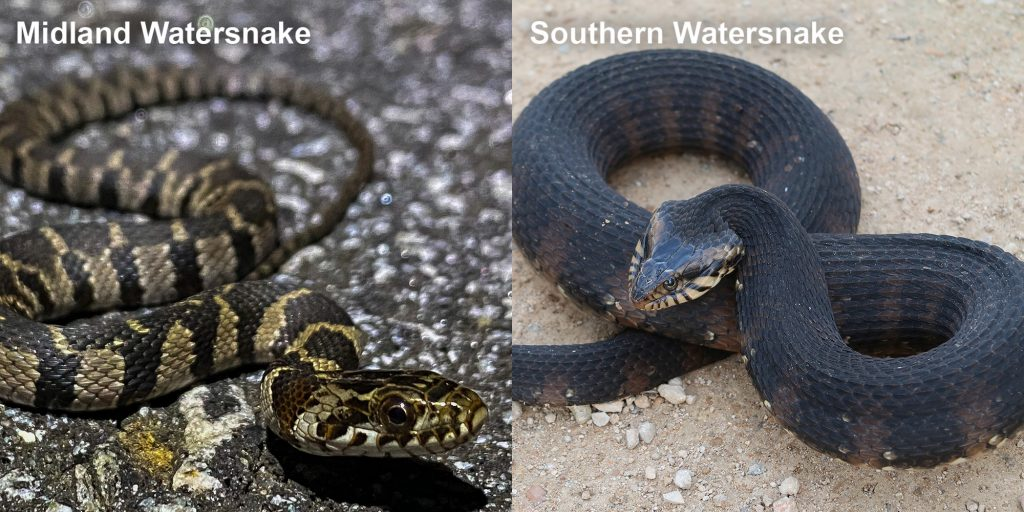 Two images side by side - Image 1: Image 1: Midland Watersnake - small patterned snake on pavement. Image 2: Southern Watersnake coiled snake with raised head.