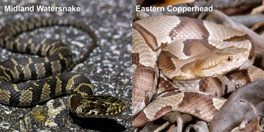 two images side by side - Image 1: Striped Midland Watersnake - small patterned snake on pavement. Image 2: Eastern Copperhead - tan and brown patterned snake.