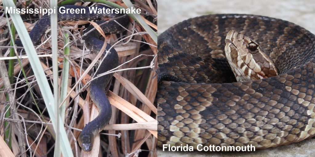Side by side comparison of a Mississippi Green Watersnake and a Florida Cottonmouth