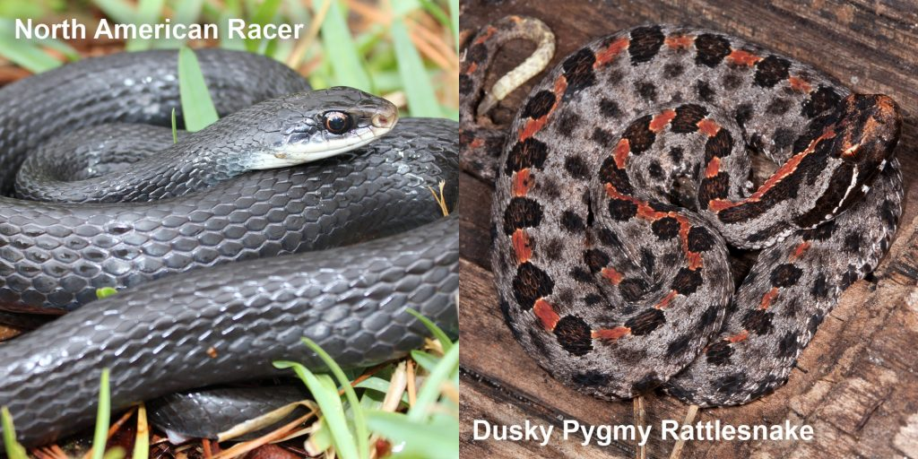 Side by side comparison of the North American racer and Dusky Pygmy rattlensnake