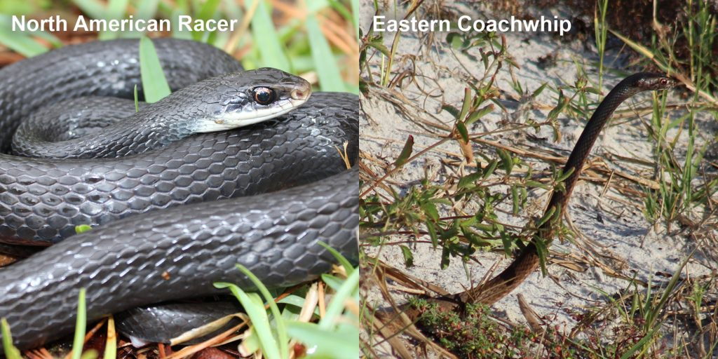 two images side by side - Image 1: North American Racer - coiled blue-black snake. Image 2: Eastern coachwhip - snake with its head raised above the grass.
