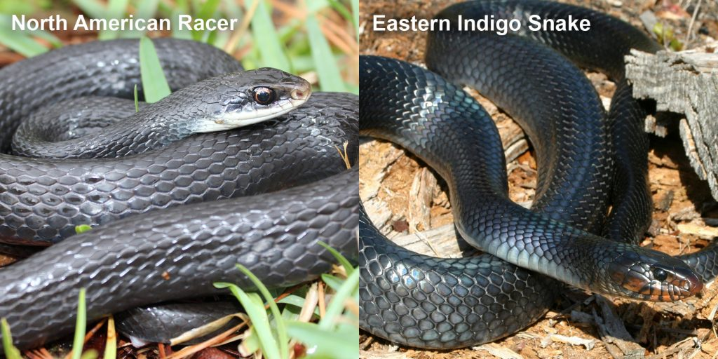 two images side by side - Image 1: North American Racer - coiled blue-black snake. Image 2: Eastern Indigo Snake - blue-black snake with red marking under its jaw.