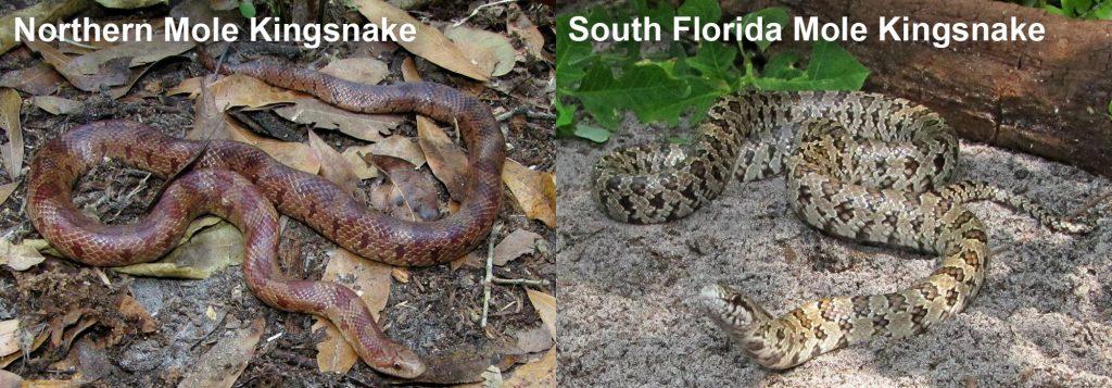 two images side by side - Image 1: brown snake on leaf litter. Image 2: light colored snake on shady sand