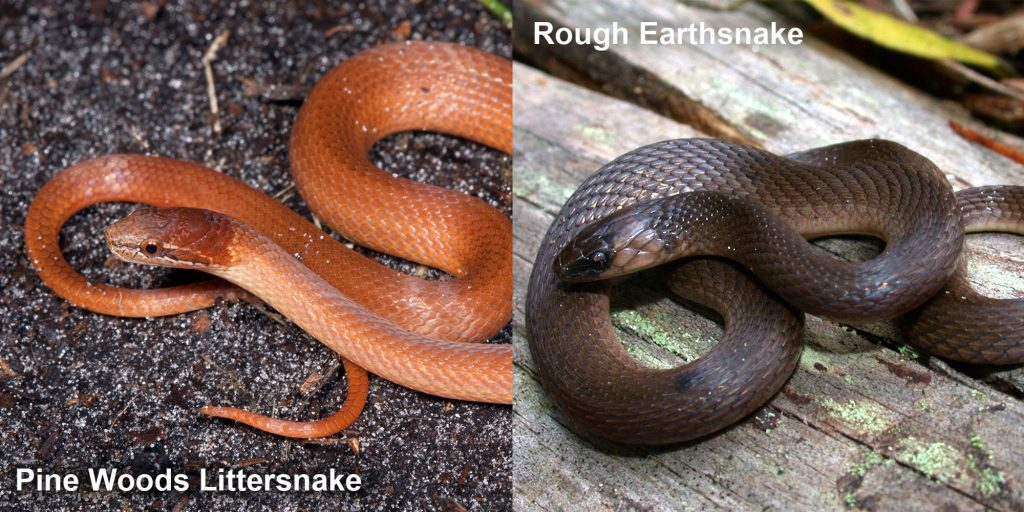two images side by side - Image 1: Pine woods littersnake. orange brown snake Image 2: Rough Earthsnake. brown snake coiled on a log