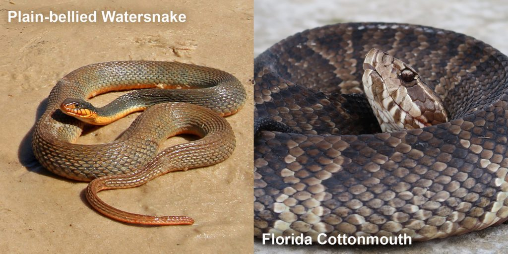 Side by side comparison of a Plain-bellied watersnake and a Florida Cottonmouth.