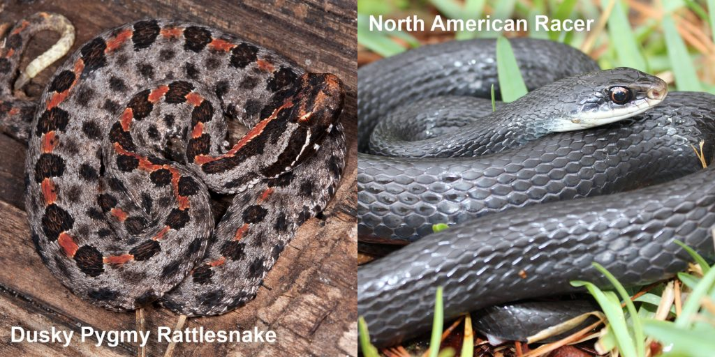 Side by side comparison of the Dusky Pygmy rattlensnake and the North American racer.