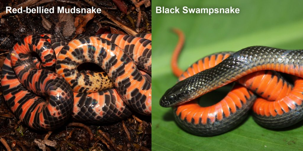 two images side by side - Image 1: Mud Snake - upside down snake showing red and black patterned belly. Image 2: Black Swampsnake small black snake with an orange belly