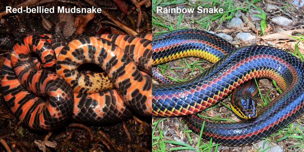 two images side by side - Image 1: Mud Snake - upside down snake showing red and black patterned belly. Image 2: Rainbow Snake - long fat snake with black red and yellow stripes.