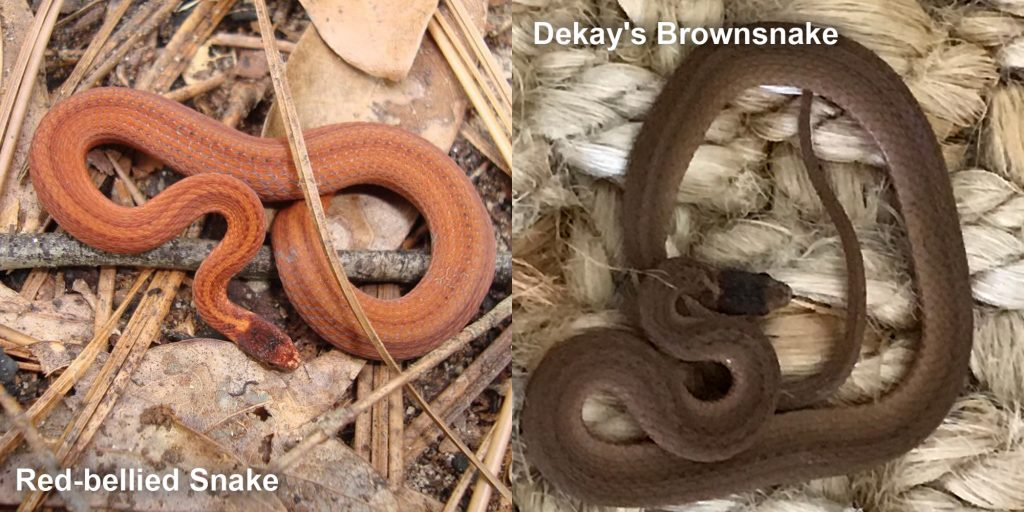 two images side by side - Image 1: Red-bellied Snake - small orange snake with brown stripes. Image 2: Dekay's Brownsnake - small brown snake on fiber.