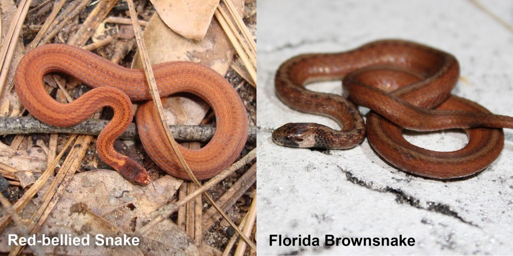 two images side by side - Image 1: Red-bellied Snake - small orange snake with brown stripes. Image 2: Florida Brownsnake - small brown snake with tan under neck