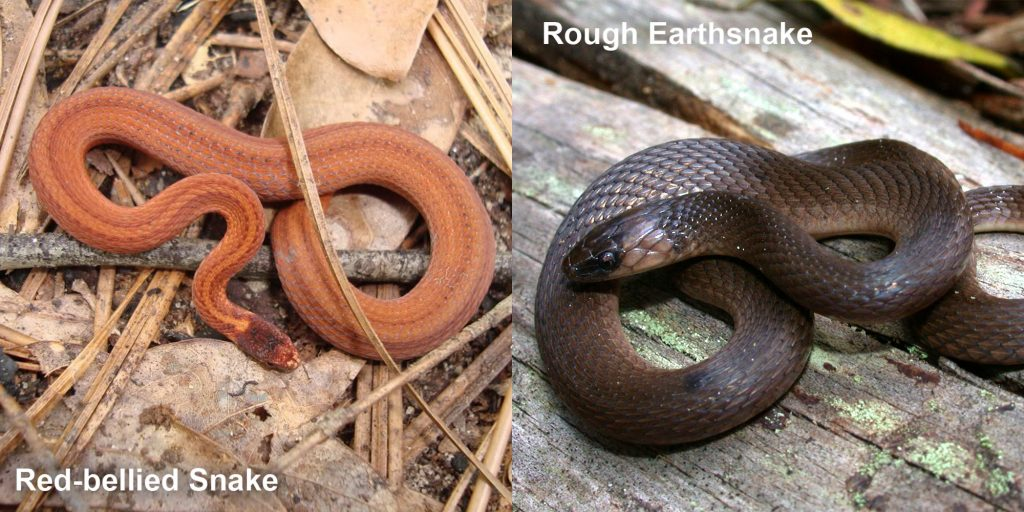 two images side by side - Image 1: Red-bellied Snake. small orange snake with brown stripes Image 2: Rough Earthsnake. brown snake coiled on a log