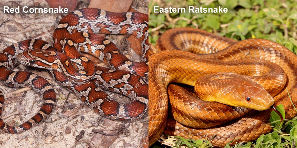 two images side by side - Image 1: Red Cornsnake - snake with red and orange markings. Image 2: Eastern Ratsnake - coiled reddish-brown snake with darker stripes