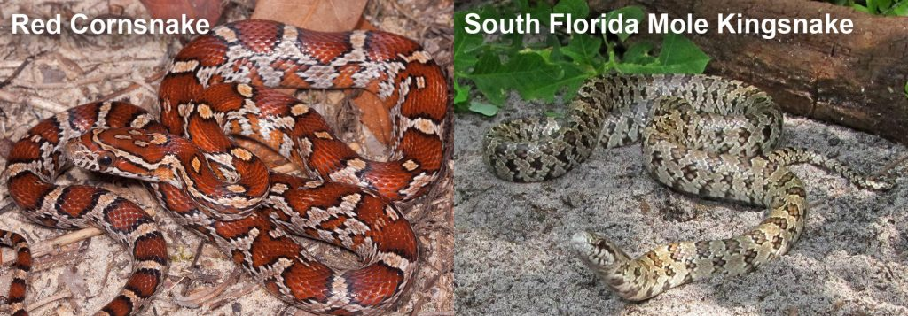 two images side by side - Image 1: snake with red and orange markings. Image 2: light colored snake on shady sand