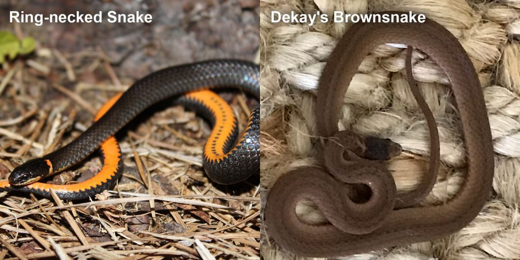 two images side by side - Image 1: Ring-necked snake - black snake coiled to show orange belly. Image 2: Dekay's Brownsnake - small brown snake on fiber.