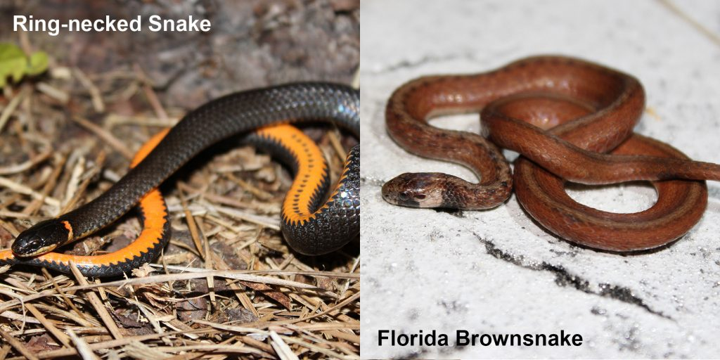 two images side by side - Image 1: Ring-necked snake - black snake coiled to show orange belly. Image 2: Florida Brownsnake - small brown snake with tan under neck