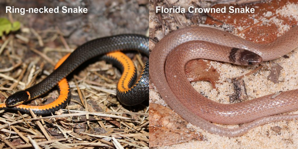 two images side by side - Image 1: Ring-necked snake black snake coiled to show orange belly. Image 2: Florida Crowned Snake, small pink snake with brown head