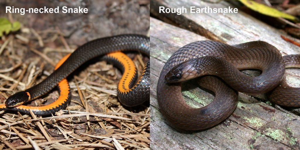 two images side by side - Image 1: Ring-necked snake black snake coiled to show orange belly. Image 2: Rough Earthsnake. brown snake coiled on a log