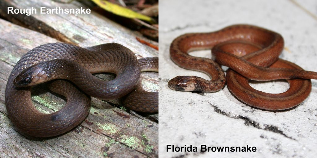 two images side by side - Image 1: Rough Earthsnake - brown snake coiled on a log. Image 2: Florida Brownsnake - small brown snake with tan under neck