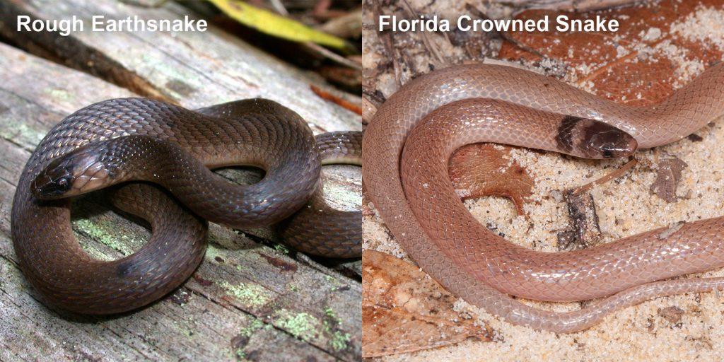 two images side by side - Image 1: Rough Earthsnake. brown snake coiled on a log. Image 2: Florida Crowned Snake, small pink snake with brown head