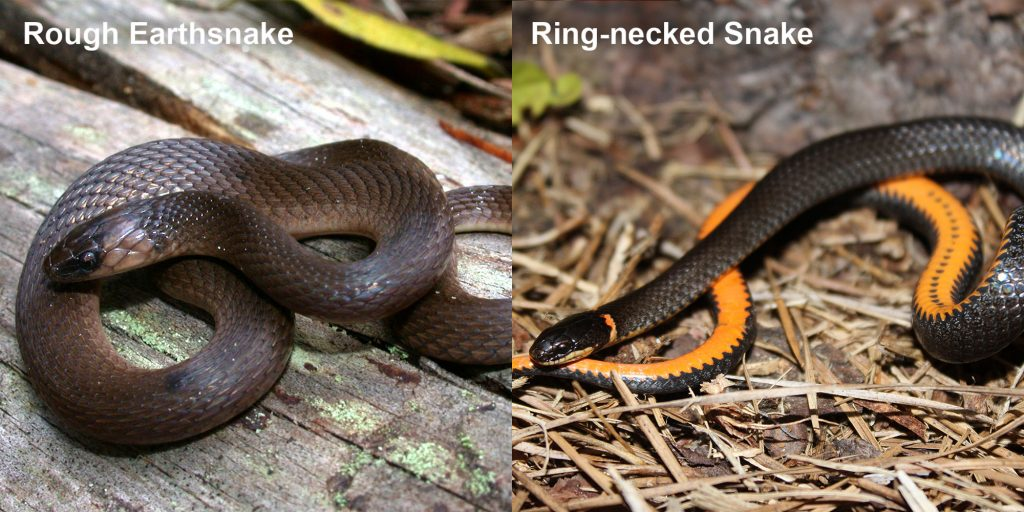 two images side by side - Image 1: Rough Earthsnake. brown snake coiled on a log. Image 2: Ring-necked snake black snake coiled to show orange belly.
