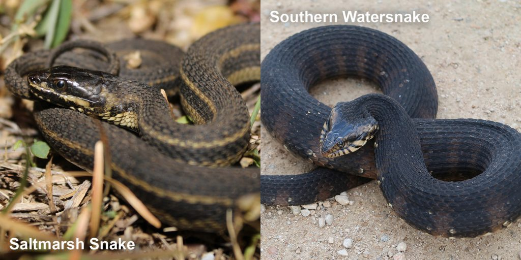 two images side by side - Image 1: Saltmarsh Snake - thin brown snake with pale stripes. Image 2: Southern Watersnake coiled snake with raised head
