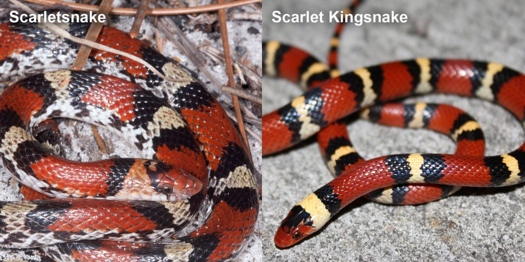 two images side by side - Image 1: Scarlet snake - coiled black, red, and yellow snake. Image 2: Scarlet Kingsnake - snake with red black and yellow rings.