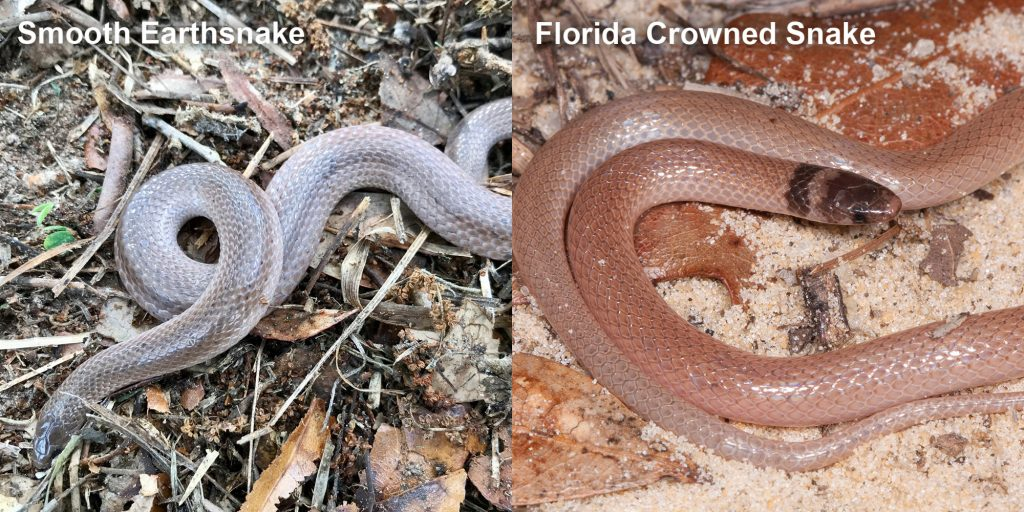 two images side by side - Image 1: Smooth Earthsnake - gray snake with light lines. Image 2: Florida Crowned Snake, small pink snake with brown head