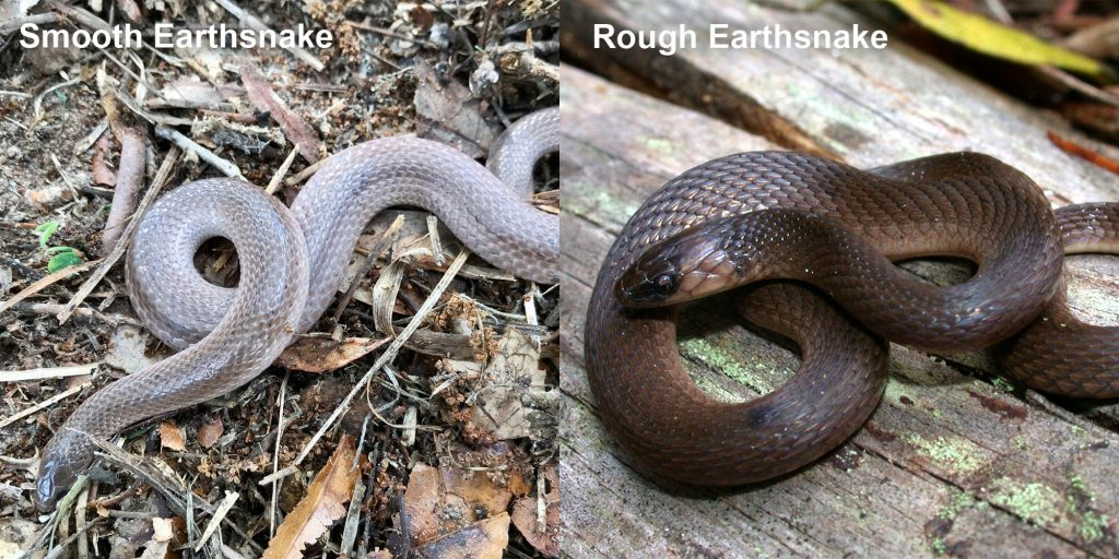 two images side by side - Image 1: Smooth Earthsnake. gray snake with light lines Image 2: Rough Earthsnake. brown snake coiled on a log