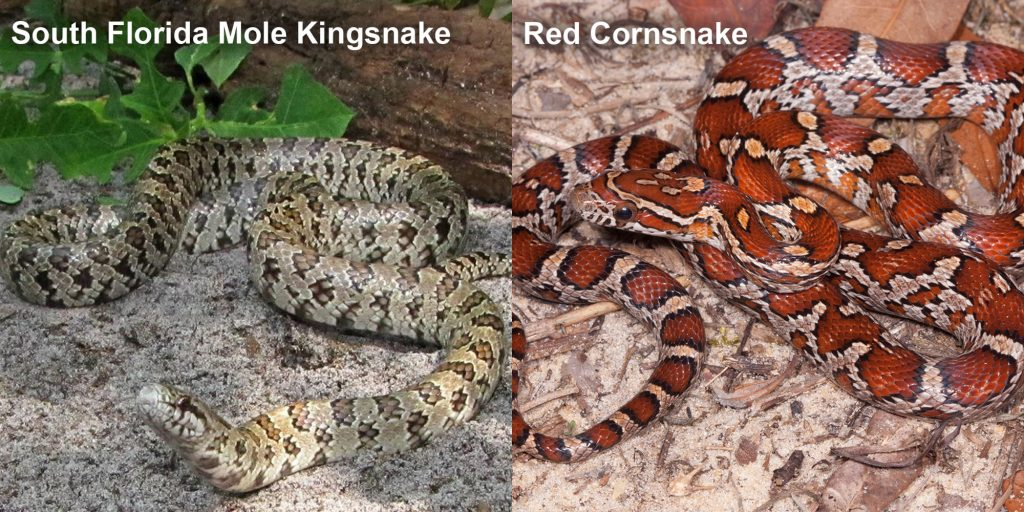 two images side by side - Image 1: South Florida Mole Kingsnake - light colored snake on shady sand. Image 2: Juvenile red cornsnake snake with red and orange markings.