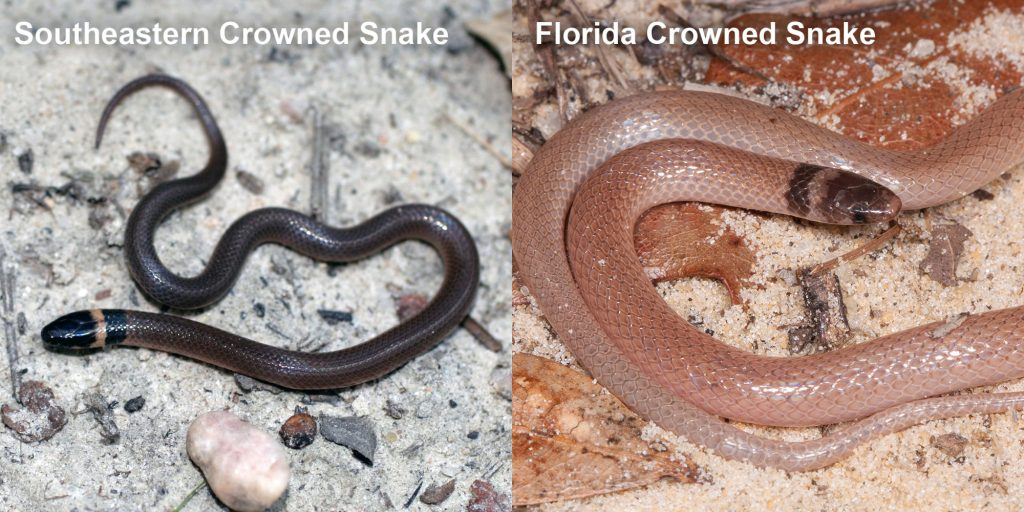 two images side by side - Image 1: Southeastern Crowned Snake - small brown snake with pale yellow ring around neck. Image 2: Florida Crowned Snake, small pink snake with brown head