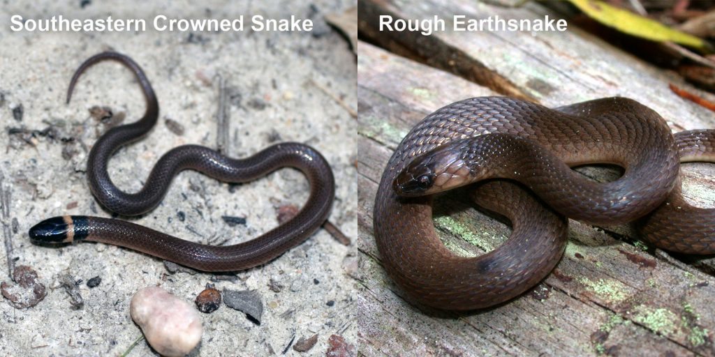 two images side by side - Image 1: Southeastern Crowned Snake. small brown snake with pale yellow ring around neck Image 2: Rough Earthsnake. brown snake coiled on a log