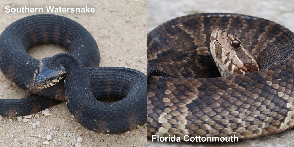 Side by side comparison of a Southern Watersnake and a Florida Cottonmouth.