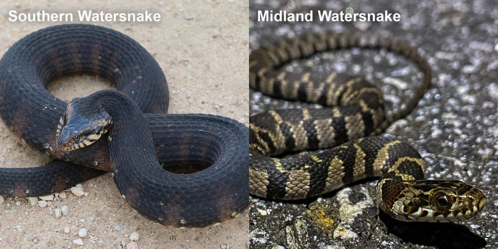 two images side by side - Image 1: Southern Watersnake coiled snake with raised head. Image 2: Striped Midland Watersnake - small patterned snake on pavement