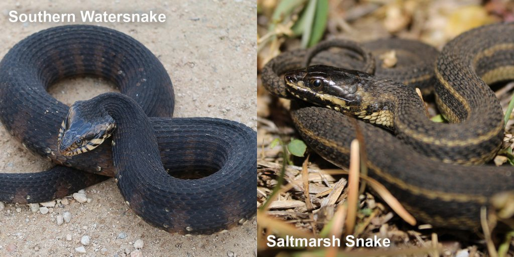 two images side by side - Image 1: Southern Watersnake coiled snake with raised head. Image 2: saltmarsh snake - thin brown snake with pale stripes.