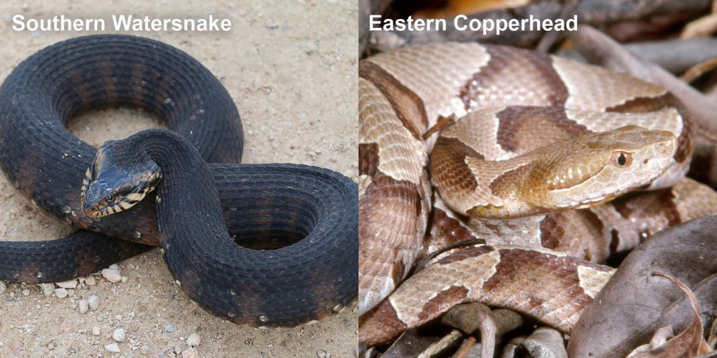 Side by side comparison of a Southern watersnake and an Eastern copperhead.
